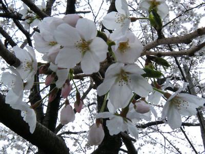 Sakura130329